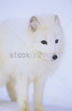 Animals in the wild : Arctic fox in snow