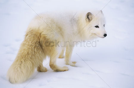 Alert : Arctic fox in snow
