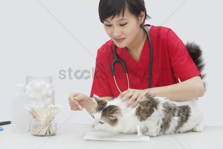 Domesticated animal : Asian female veterinarian cleaning cat s ear with cotton swab against gray background