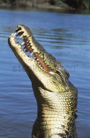 Animals in the wild : Australian saltwater crocodile in river
