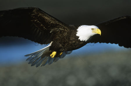 Animals in the wild : Bald eagle in flight