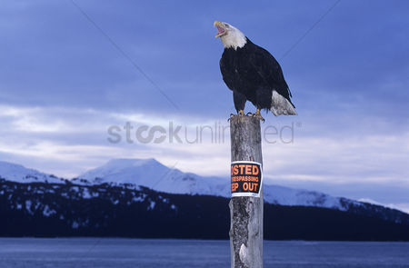 Animals in the wild : Bald eagle perched on post in mountains