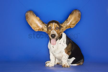 Dogs : Basset hound with ears extended