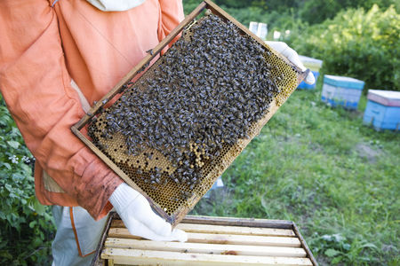 Hobby : Beekeeper holding honeycomb with honey bees