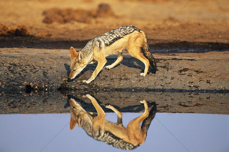 Animals in the wild : Black-backed jackal  canis mesomelas  at waterhole