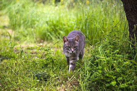 Animal : Bobcat walking in a forest  venice  veneto  italy