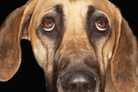 Head shot : Brazilian mastiff  fila brasileiro  close-up