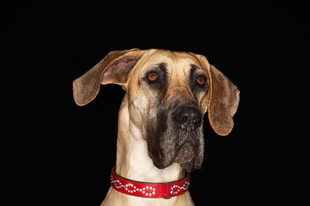Alert : Brazilian mastiff  fila brasileiro  close-up
