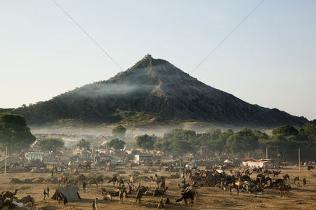 Large group of animals : Camel fair ground in front of a mountain  pushkar  ajmer  rajasthan  india