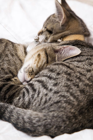 Affectionate : Cats cuddling up in bed