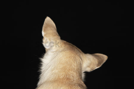 Dogs : Chihuahua close-up back view