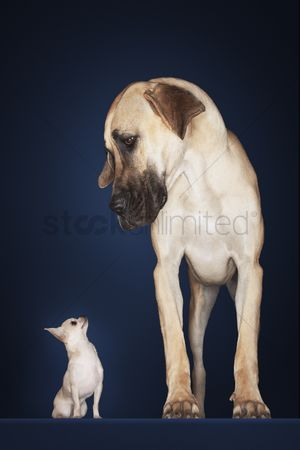 Dogs : Chihuahua sitting great dane standing alongside front view