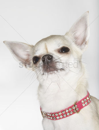 Dogs : Chihuahua wearing studded collar close-up
