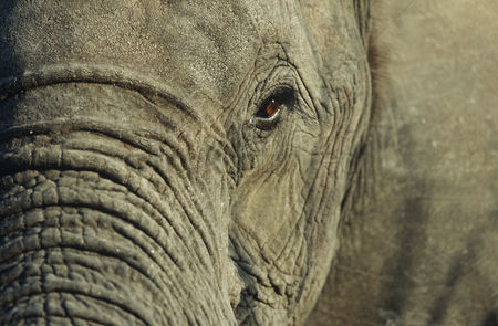 Animals in the wild : Close-up of african elephant  loxodonta africana  selective focus