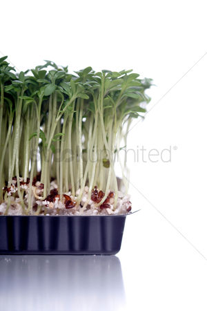 Grass background : Close-up of cress on white background