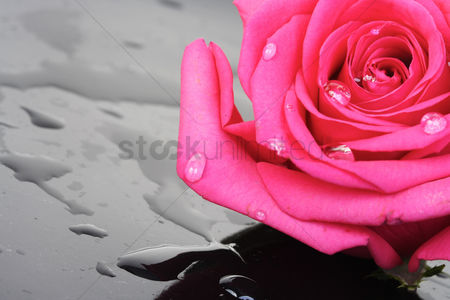Beautiful : Close-up of pink rose on black background