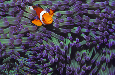 Animals in the wild : Clown fish hiding among sea anenomies