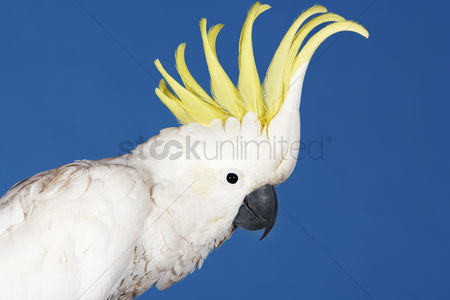 Animal head : Cockatoo on blue background side view