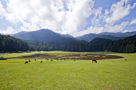 Large group of animals : Cows grazing in a field  khajjiar  chamba  himachal pradesh  india