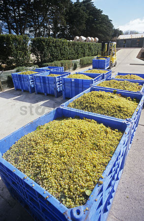 Grapes : Crushing grapes in winery