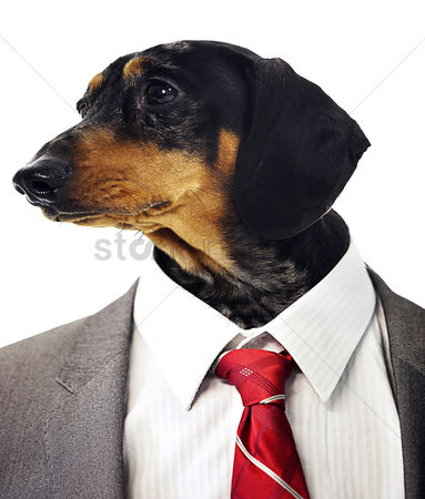 Dogs : Dachshund head on businessman s body