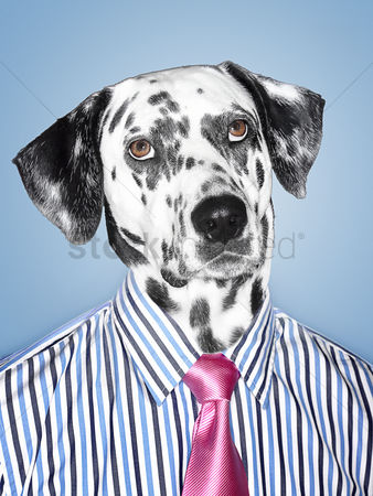 Pink : Dalmatian businessman looking at camera