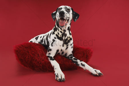 Dogs : Dalmatian crouching on cushion