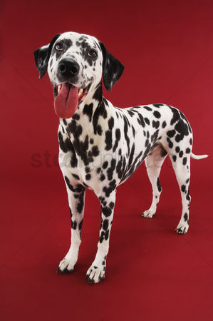 Dogs : Dalmatian standing mouth open
