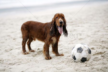 Alone : Dog playing with football on the beach
