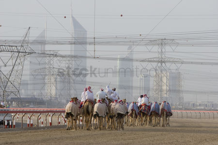 Large group of animals : Dubai uae camels and jockeys training at nad al sheba camel racetrack at sunset