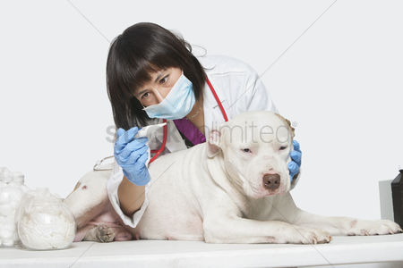 Domesticated animal : Female veterinarian checking temperature of dog over gray background