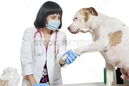 Examination : Female veterinarian holding dog s paw over gray background