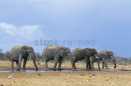 Animals in the wild : Four african elephants  loxodonta africana  in a row