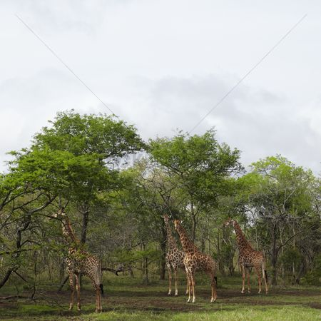 African wildlife : Four giraffes stand in woodland