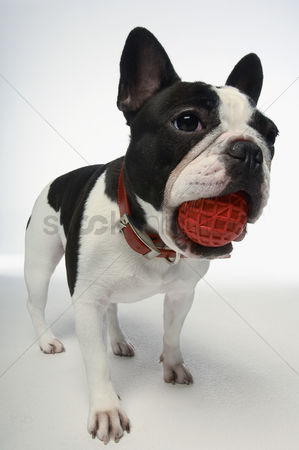 Adorable : French bulldog holding ball in mouth on white background