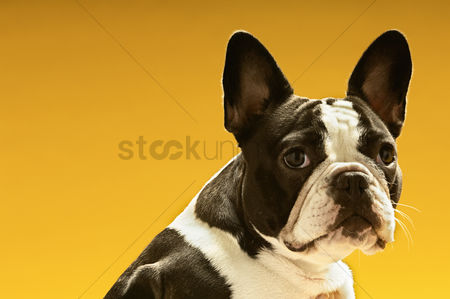 Head shot : French bulldog on yellow background