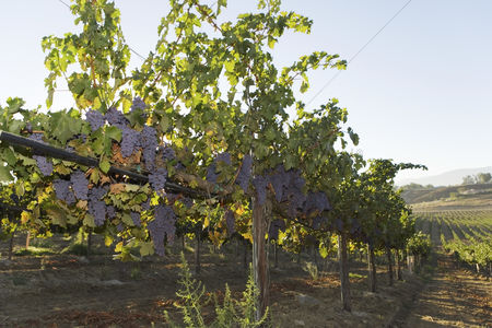 Grapes : Grapevines in row in valley