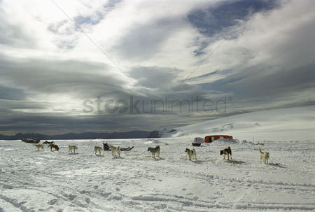 Dogs : Group of dogs near trailer in snow-covered landscape