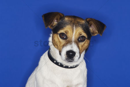 Dogs : Jack russell terrier sitting close-up