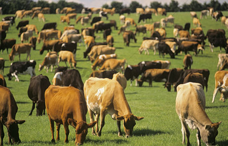 Grass : Jersey dairy cows in green pasture