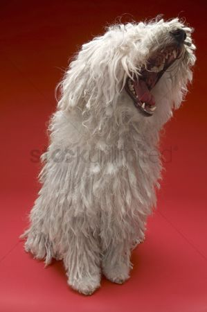 Domesticated animal : Komondor dog