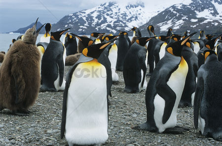 Large group of animals : Large collony of penguins