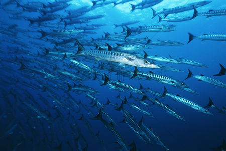 Large group of animals : Large school of barracuda fish