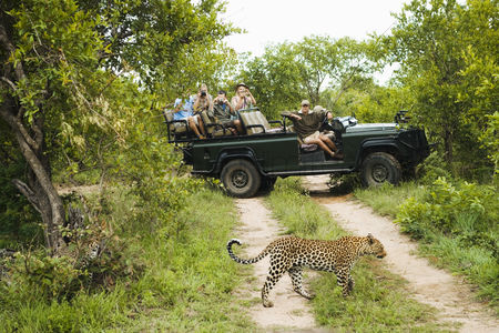 Day off : Leopard  panthera pardus  crossing road tourists in jeep in background
