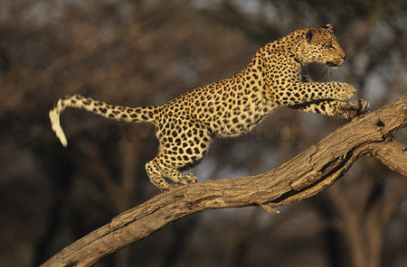 Animals in the wild : Leopard  panthera pardus  standing on branch