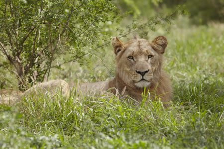 African wildlife : Lioness lying in african undergrowth