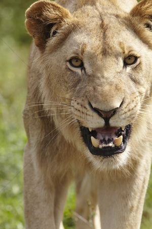 African wildlife : Lioness snarling at camera