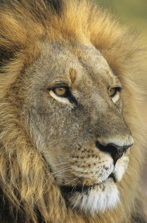 Leadership : Male lion close-up of head