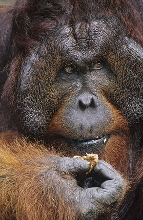 Animals in the wild : Male orangutan eating close-up