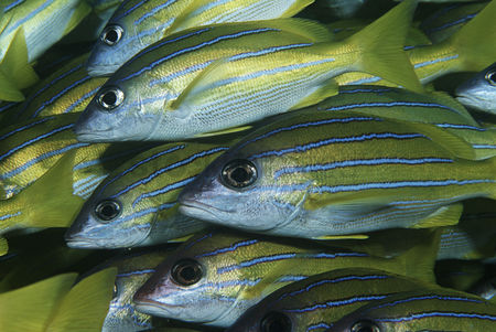 Large group of animals : Mozambique indian ocean school of bluestripe snappers  lutjanus kasmira  close-up